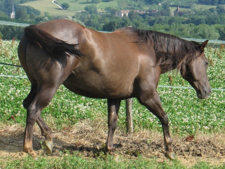 versatility foundation quarter horse